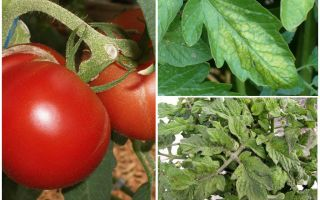Тля на помидорах — как бороться и чем обработать