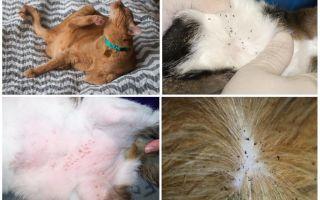 Кошка чешется после капель от блох