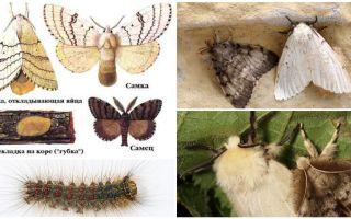Гусеница и бабочка непарного шелкопряда – фото и описание