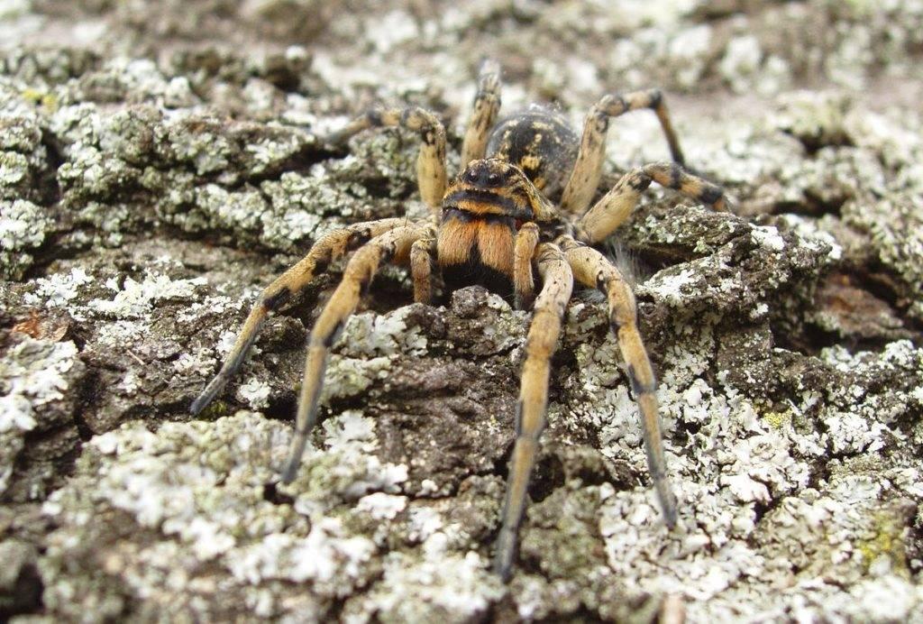Мизгирь или южнорусский тарантул