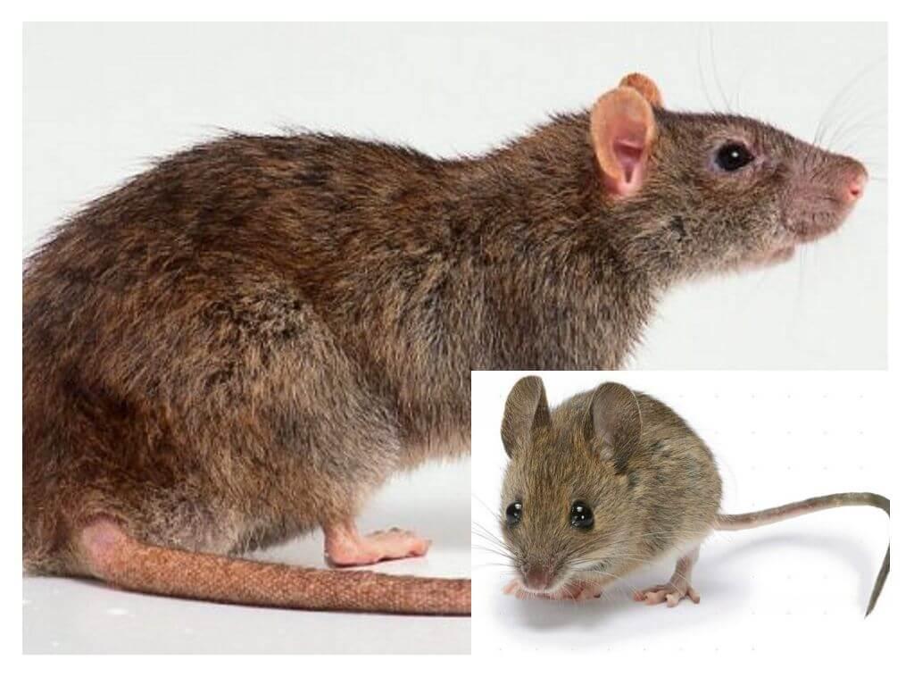 картинки мышей в спб районе наличествуют