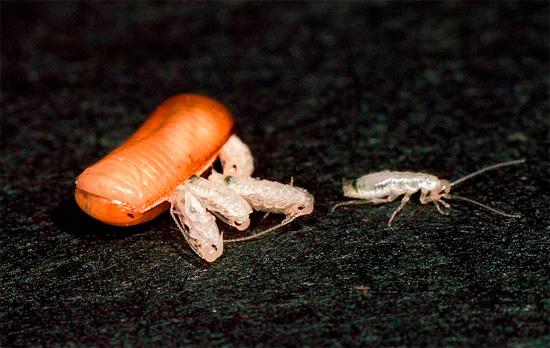 Сколько за раз вылупляется тараканов