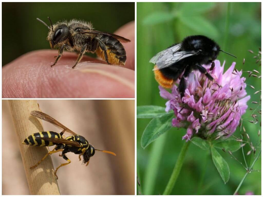 чем отличается пчела от осы фото срубы домов они