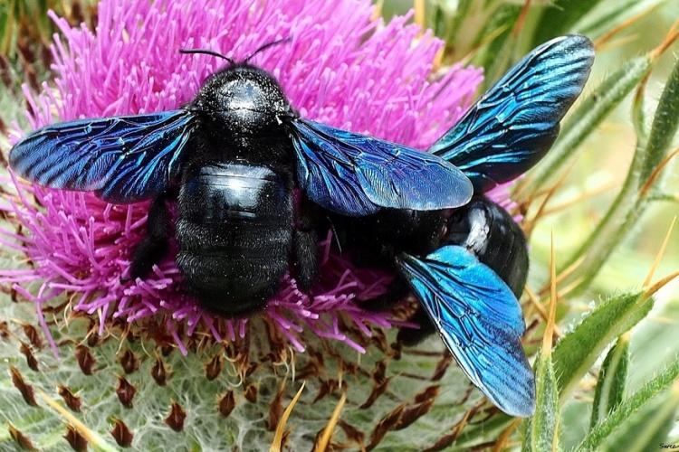 Фиолетовый синий шмель плотник