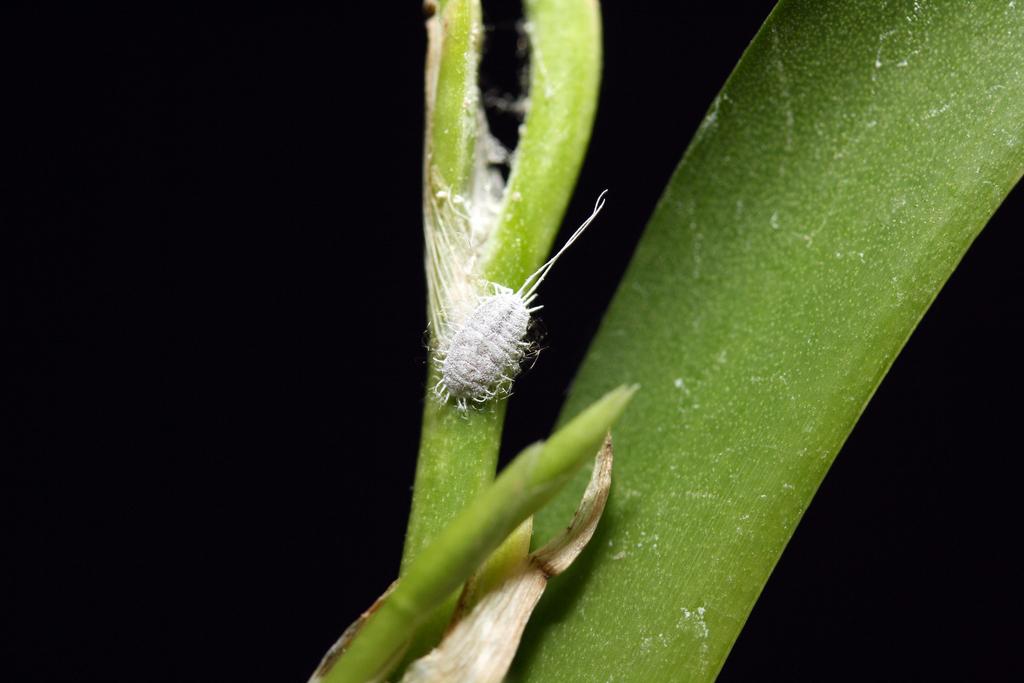 Как избавиться от мучнистого червеца на орхидее