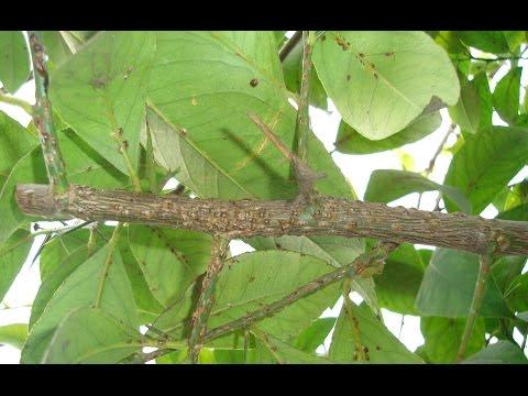 Методы борьбы со щитовкой на лимонном дереве