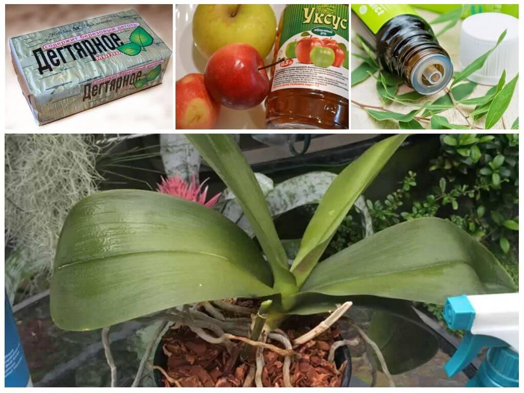 Тля на орхидее: как избавиться в домашних условиях, чем обработать, профилактика