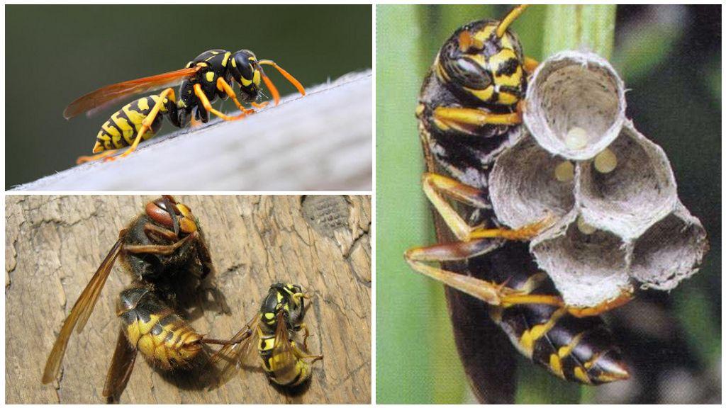 Жизнь матки осы: как выглядит оса-королева и в чем ее задача. Как выглядит матка шершня, цикл развития
