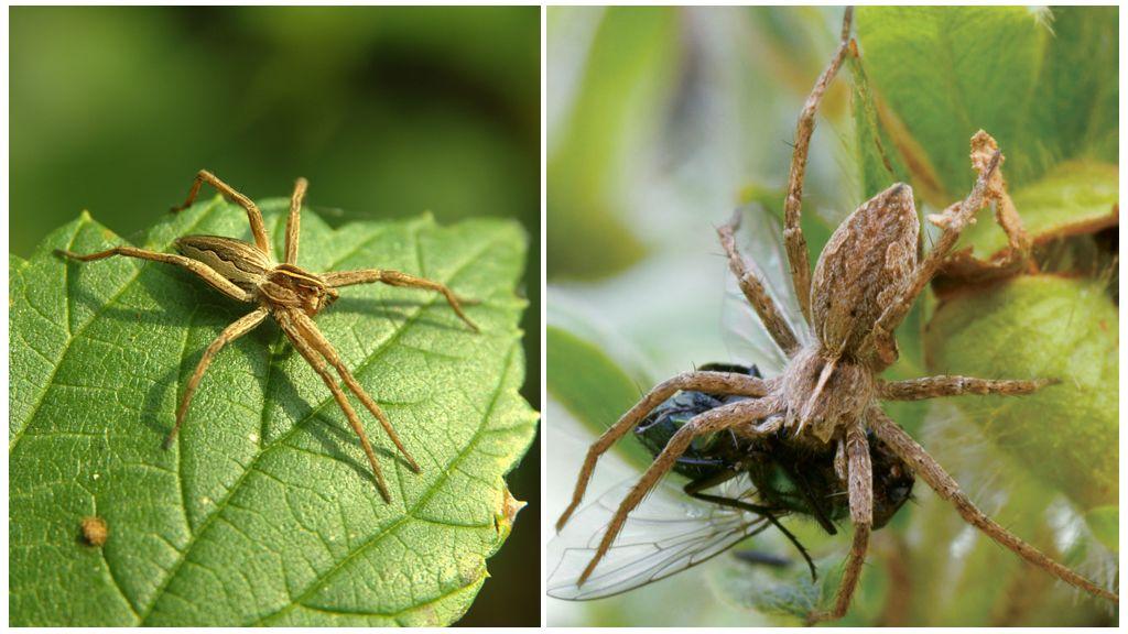 Сколько живут обычные пауки в квартире и природе