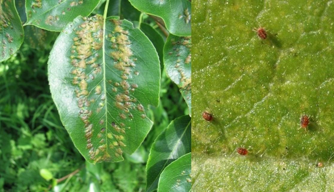 Галловый клещ на груше (16 фото): меры и средства борьбы с грушевым вредителем, как избавиться от болезни летом
