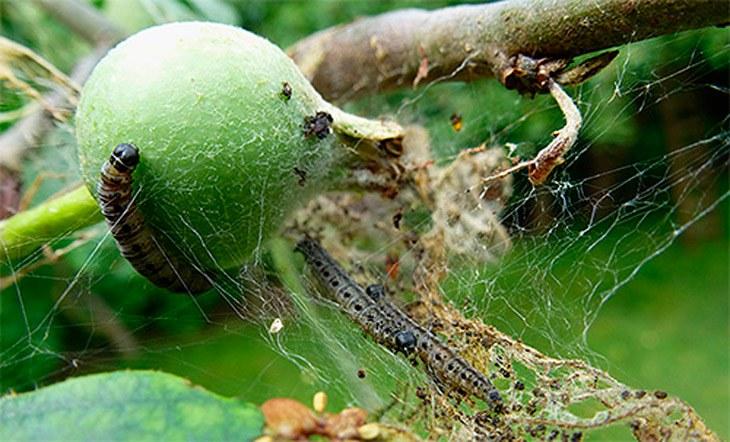 Как бороться с яблонной молью?