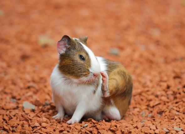 Блохи у морских свинок - симптомы и лечение блох у морских свинок