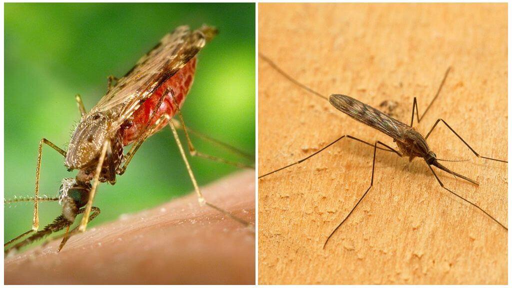 Что будет если укусит малярийный комар