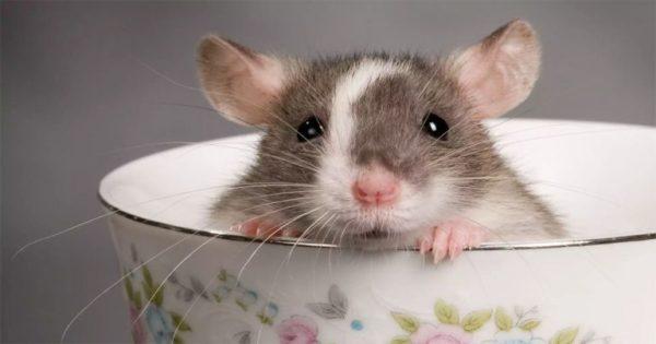 Какие звуки издает крыса - Борьба с вредителями