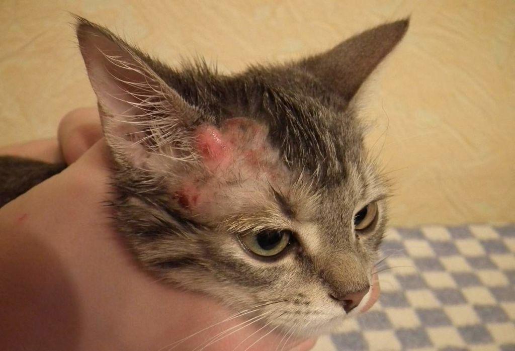 Кошка чешется до болячек на шее но блох нет
