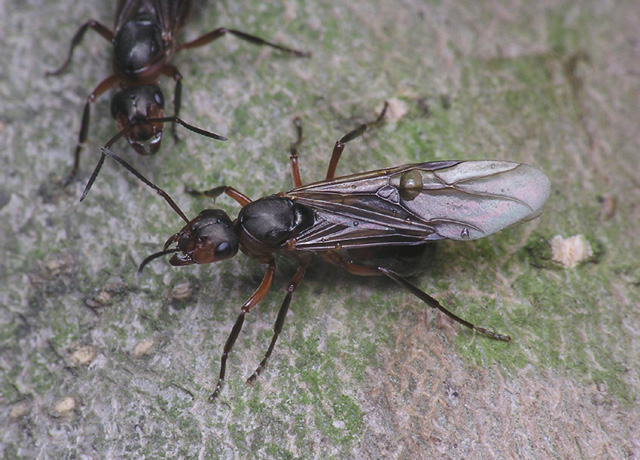 Желтые муравьи на кухне