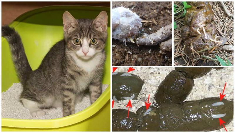 как опознать глисты у кошки