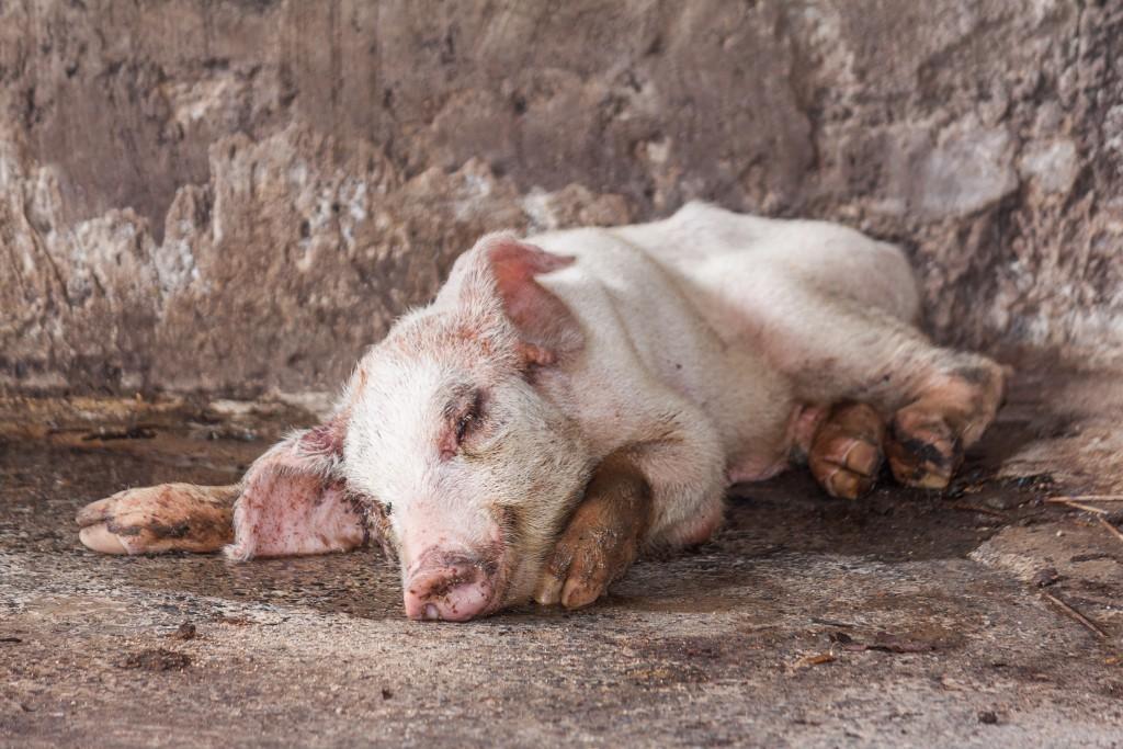 Глисты у свиней и поросят – симптомы и лечение