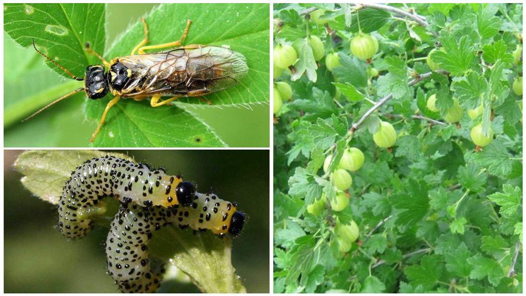 Борьба с гусеницами на смородине