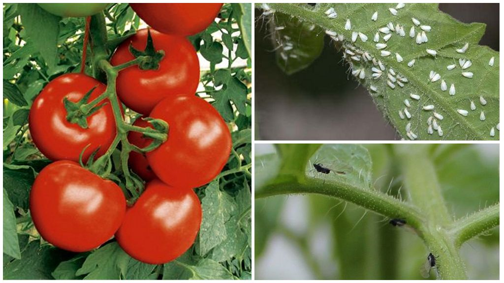 Чем обработать помидоры от белых и черных мушек