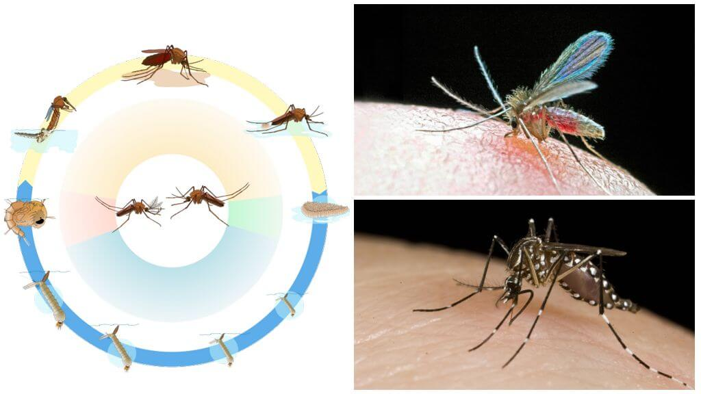 Чем отличаются комары от москитов. Чем отличаются москиты от комаров