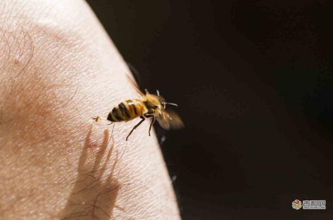 Кто умирает оса или пчела после укуса