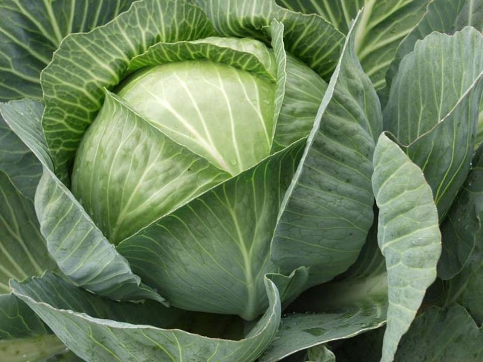 Вредители капусты: чем обработать, как бороться с болезнями